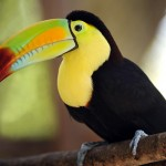 Natural amazing toucans